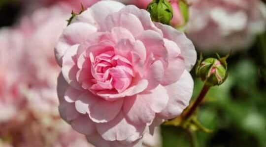 розова роза