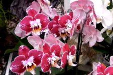 Розова орхидея